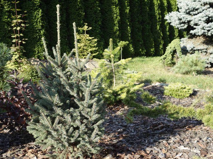 Picea mariana Beissneri Compacta