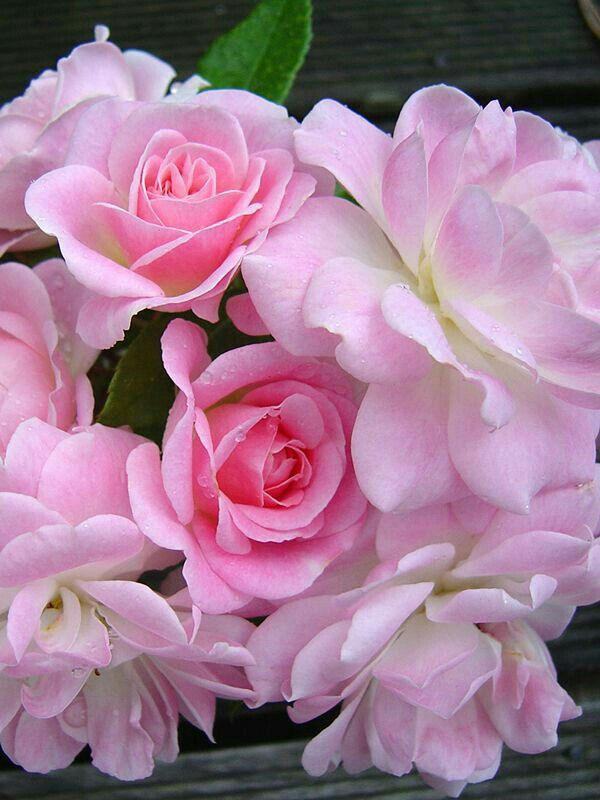 Pink pretty Roses.