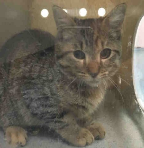"""BRUTTASIA - A1093183 - - Staten Island  ***TO BE DESTROYED 10/20/16*** SECOND CHANCE TONIGHT FOR KITTEN BRUTTASIA! LET'S MAKE IT COUNT!  BRUTTASIA CAME INTO THE SHELTER IN A TRAP? SO IS THAT ANY REASON TO MAKE HER """"RESCUE ONLY?"""" Any cat that comes in TRAPPED, is likely going to be scared to death! But the folks at the ACC don't see it that way and give no time before determining the behavior rating. She's just 4 months old and because needs a N"""