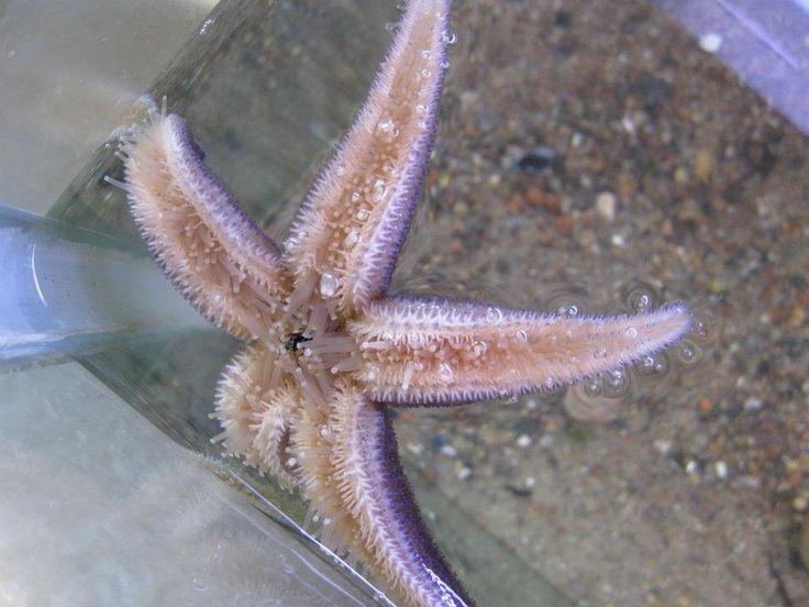 Sjöstjärna som blivit matad med en fluga ovanför vattenytan. I vanliga fall fångar de sin föda på havsbotten.