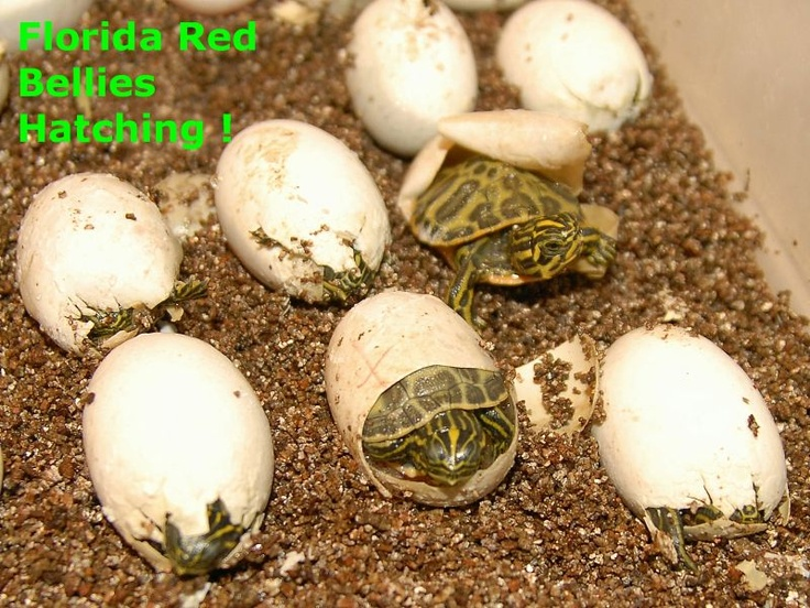 Florida Red Bellied Turtles for sale from The Turtle Source