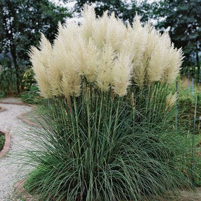 Large decorative grasses buscar con google gardens and for Giant ornamental grass