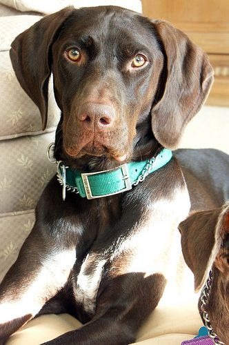 picture of German Pointer --Truly reknown for scenting prowess.