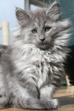 Ngalla Makalya - Norwegian Forest Cat