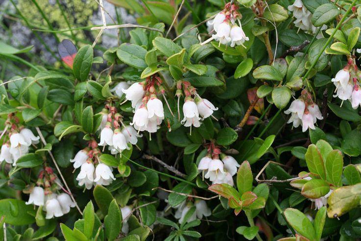 Kvety... Brusnica pravá (Vaccinium vitis – idaea)