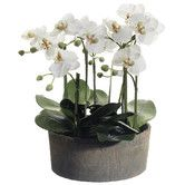"""Found it at Wayfair - 19"""" Phalaenopsis Orchid Plant in Clay Pot"""