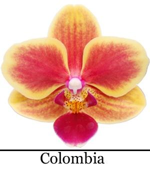 Orchidee Phalaenopsis Colombia
