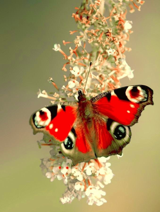 Peacock Butterfly ~ Stunning nature