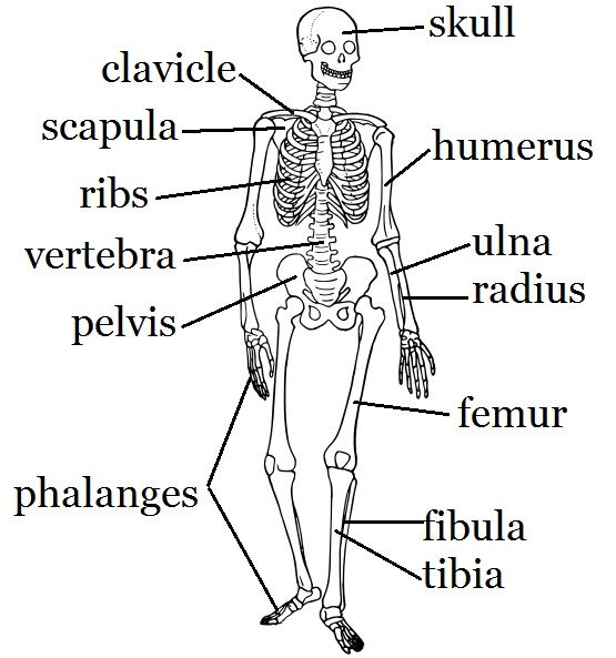 Human Skull Bones Labeled