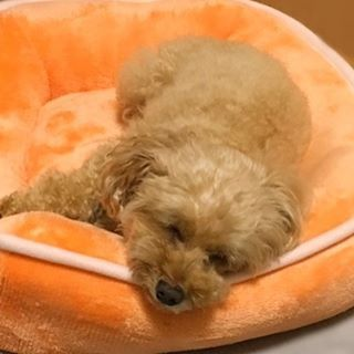 寝顔が可愛くてハート💓 #トイプードル #愛犬 #寝顔#애견 #잠든 얼굴 #sleeping face#toy poodle#pet dog#토이 푸들