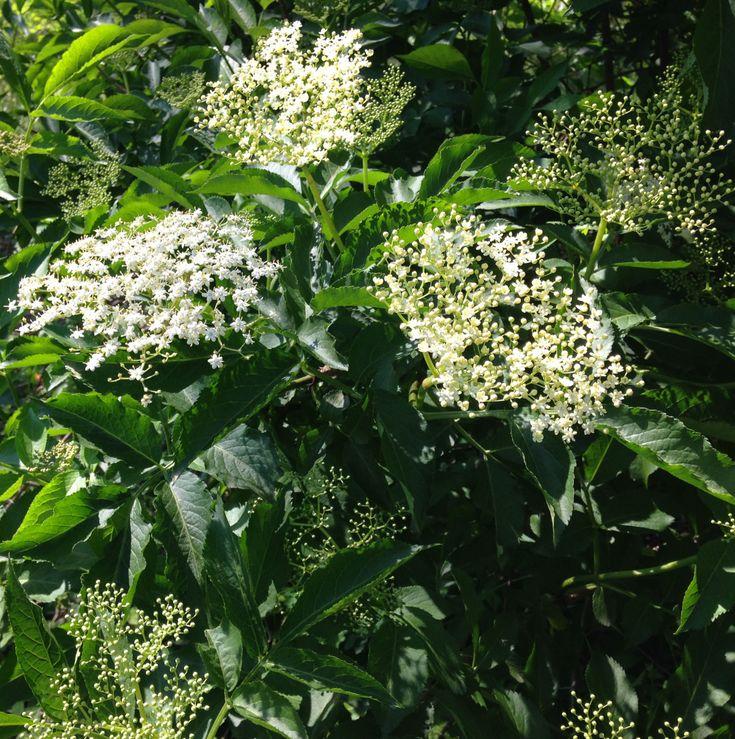 Recette du sirop de fleurs de sureau facile à faire !