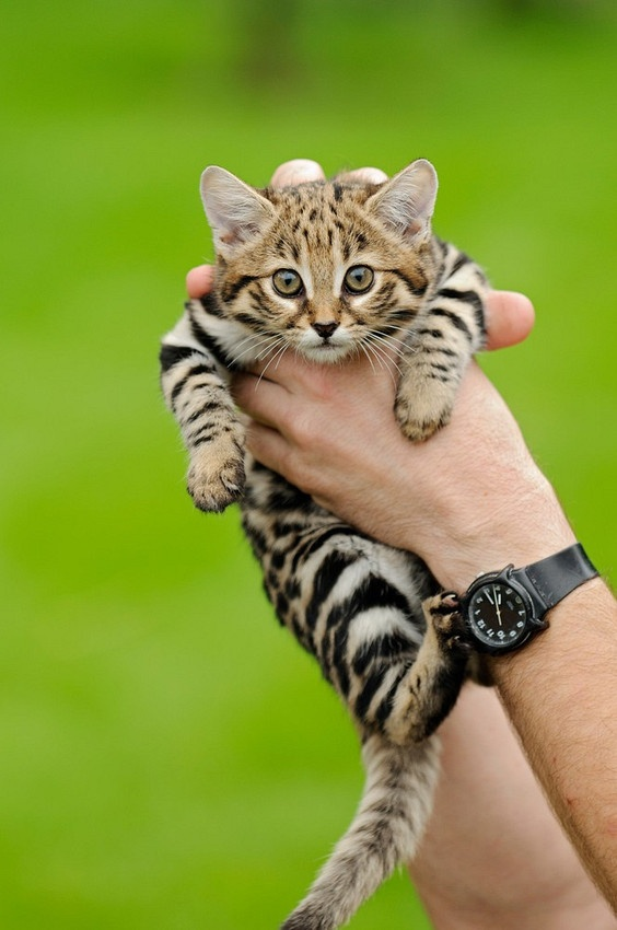 African Black Footed Cat Adorable But Not A Pet As They