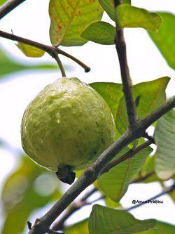 Guava fruit smoothie recipe