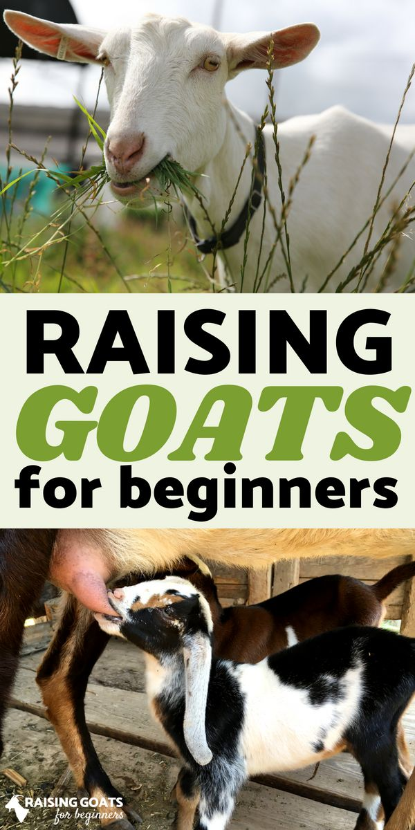 Want to learn how to raise goats? The Raising Goats for ...