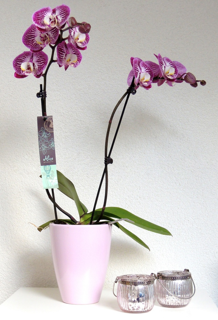 Phalaenopsis orchid of Alice Adventures. For inspiration.