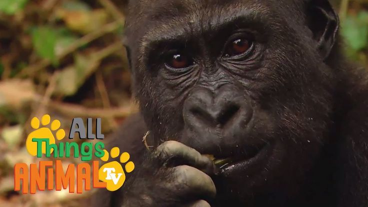 GORILLA: Ed and Eppa series. Animal videos for children and kids. Preschool learning.