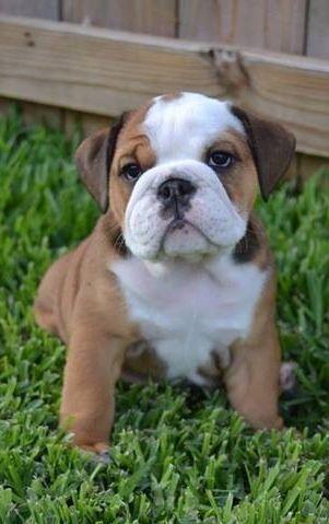 #English #Bulldog #puppy