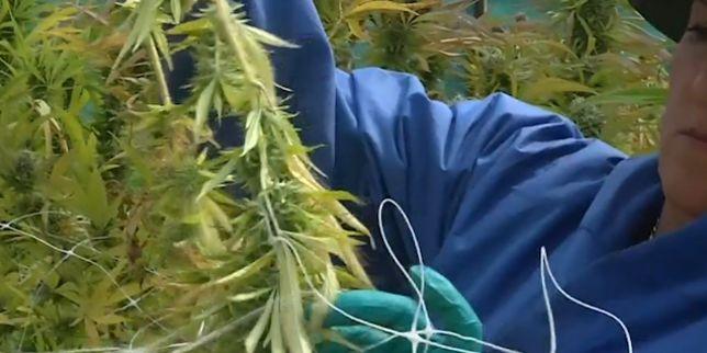 Première récolte pour la plus grande plantation de cannabis d'Amérique du Sud