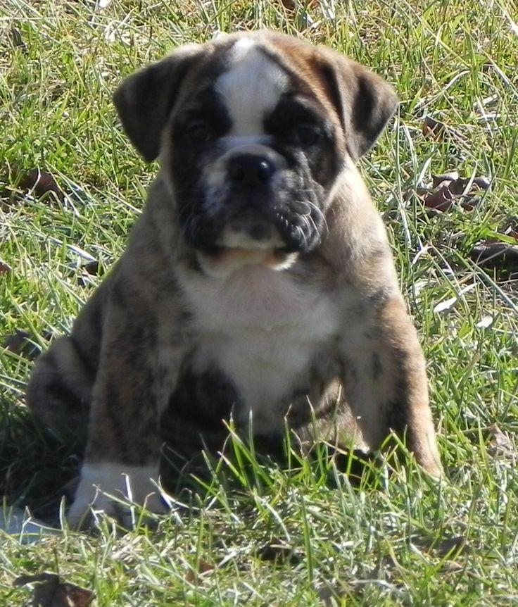 Bulldog Puppies Missouri