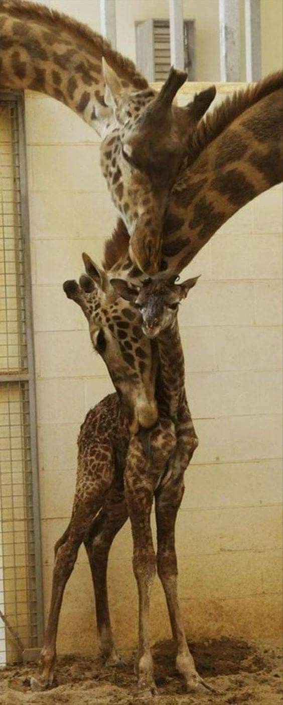 Funny pictures about giraffe family hug oh and cool pics about giraffe family hug also giraffe family hug