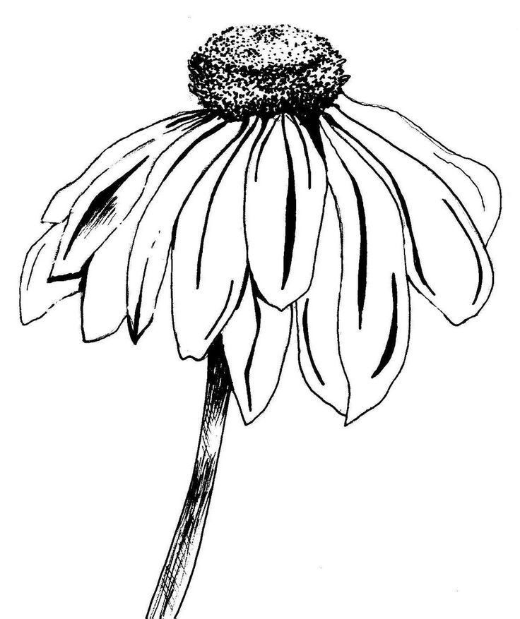 Line Drawing Coneflower : Best images about flower on pinterest drawing
