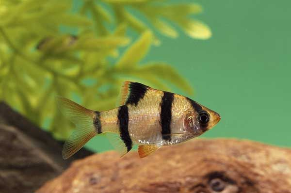 Great article the top seven freshwater aquarium fish for Best freshwater aquarium fish