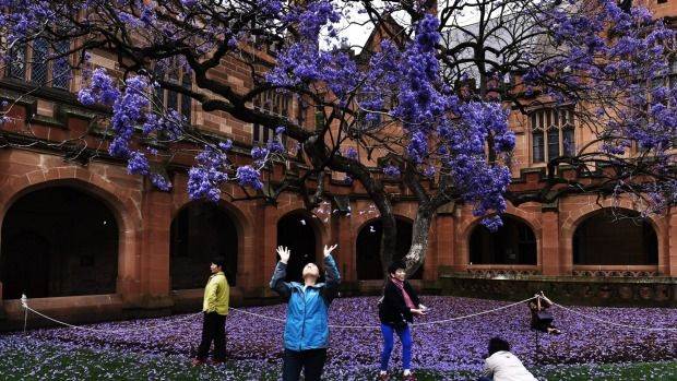 Blooming lovely: Chinese tourists enjoy the brilliant flowers of the old jacaranda in the Sydney University Quadrangle. It has been cloned so it will survive when the original tree, planted in 1928, dies.