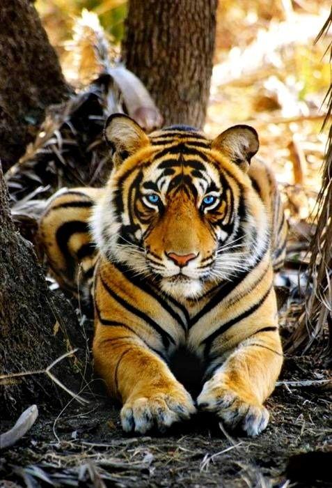 Tiger Considero o tigre, dentre os grandes felinos, o mais poderoso e magnifico!!
