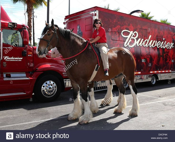 Kat Cockell, Budweiser Clydesdale Curly Budweiser Clydesdales Make ...