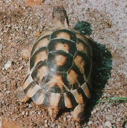 Bon Samedi - Voici maintenant la tortue de Grèce  Merci de vos visites sur mon site.  Bonne journée et bisous.