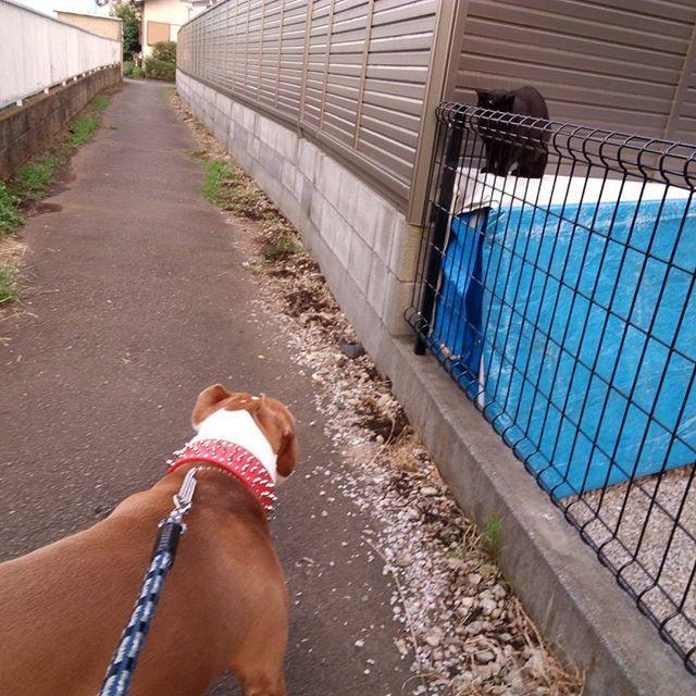 昨日の#お散歩 の様子。 昼間に探し続けてた#猫ちゃん にまさかの#遭遇 。 猫ちゃんは#ビビりまくって 硬直。 ブルーノは#狙いを定めて 硬直。笑  #アメリカンピットブルテリア #ピットブルテリア #ピットブル #ピット #amelicanpitbullterrier #pitbullterrier #pitbull #pitbulllover #pitbulllife #dogstagram #dog #愛犬 #犬