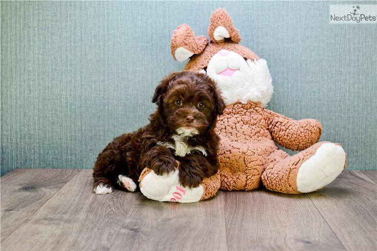 Shichon puppy for sale near Columbus, Ohio | 1a1a2325-1a21