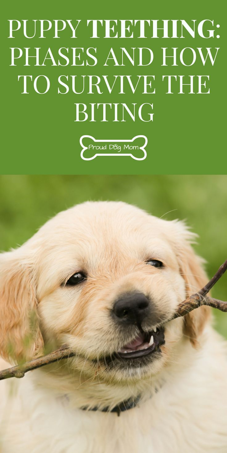 Puppy Teething 101: Phases and How To Survive The Biting | Dog Training | Dog Health |