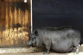 Afbeeldingsresultaat voor hangbuikzwijn