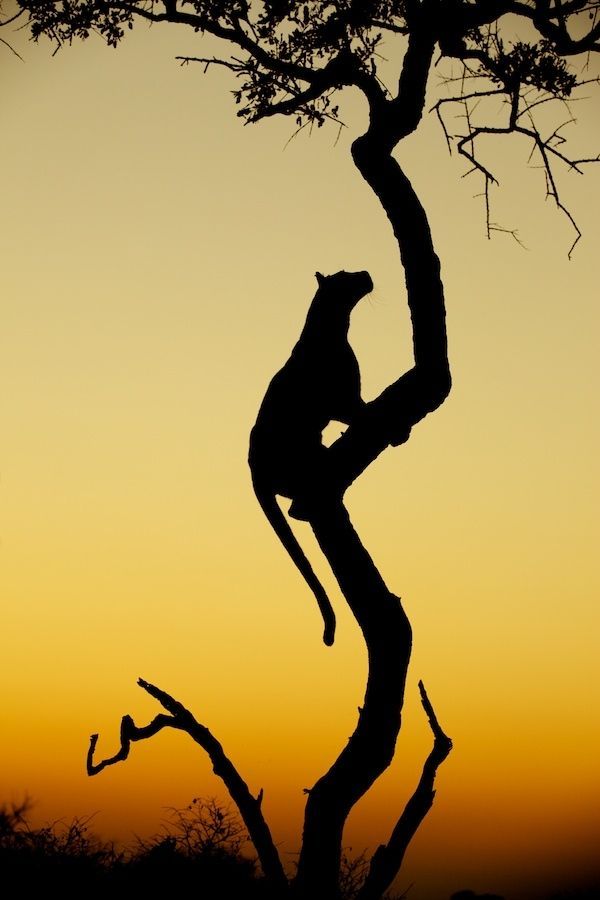.: Animal Planets, Big Cat, Africans Safari, Sunsets, Silhouette, South Africa, Leopards, Trees, Bigcat