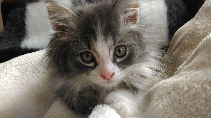 De blauwe baby oogjes veranderen in heldere kattenogen. Kiki 10 weken.