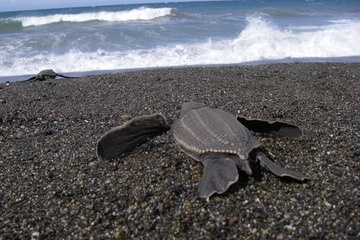 Leatherback Turtles in serious trouble