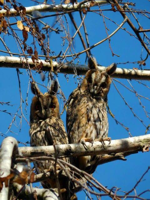 Long-eared owls in Szolnok, Hungary