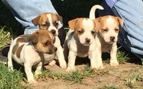 Purebred smooth coat tan and white Jack Russell pups. 2 males and 2 females. They will be worked, vaccinated, microchipped and vet checked, ready for their new forever homes from 30th December. both parents have exceptional temperaments and are great with kids. These pups have been raised in a family environment and love - https://www.pups4sale.com.au/dog-breed/446/Jack-Russell-Terrier.html