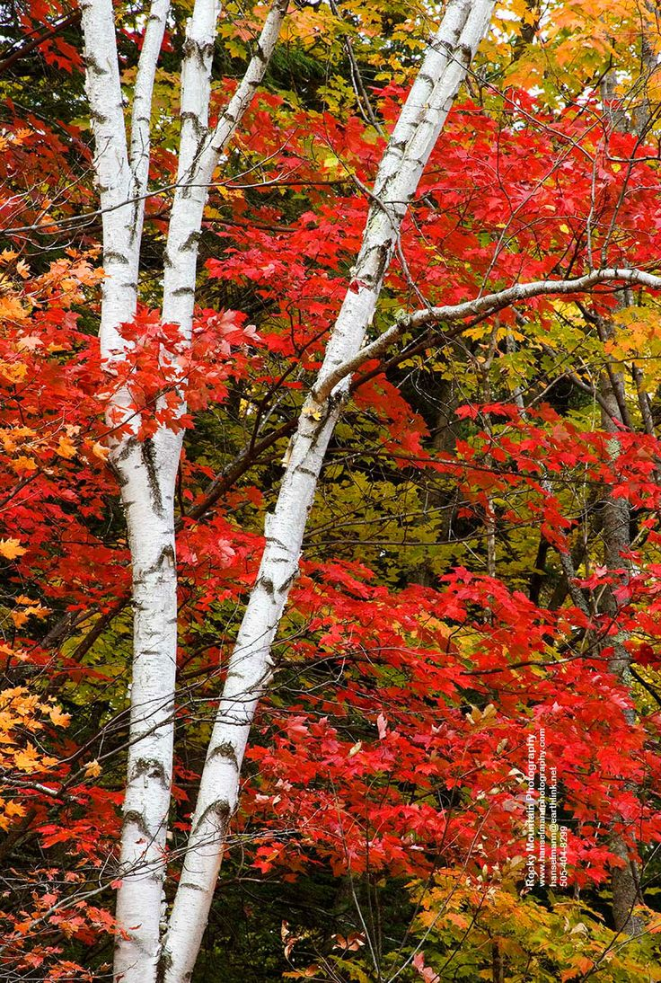 White Birch and Red Maple Leaves, Swift River, New Hampshire