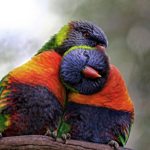 "Rainbow lorikeets snuggling. ""Do my neck"""