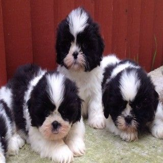 Tzu Puppies For Sale 295 Posted 5 Months Ago For Sale Dogs Shih Tzu i