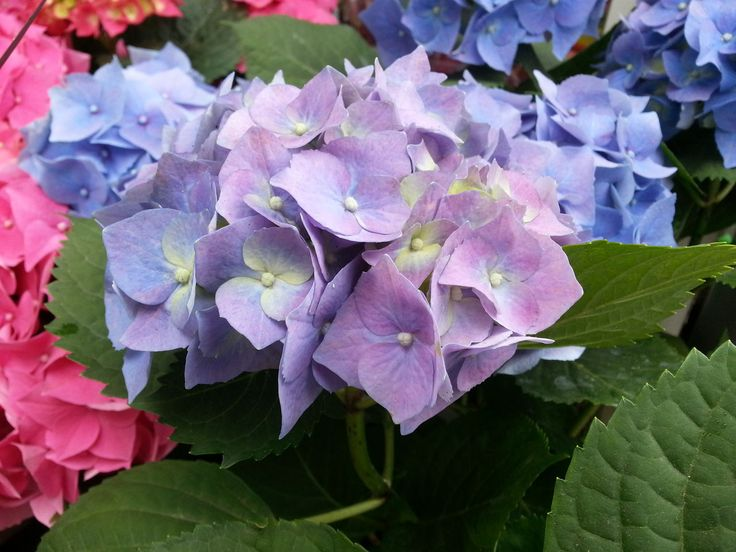 beauty in nature, flower, leaf, plant, growth, fragility, nature, hydrangea, petal, no people, purple, outdoors, close-up, freshness, day, blooming, bougainvillea, lilac, flower head