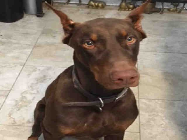 Doberman Pinscher Dog For Adoption In San Antonio Tx Adn 824442