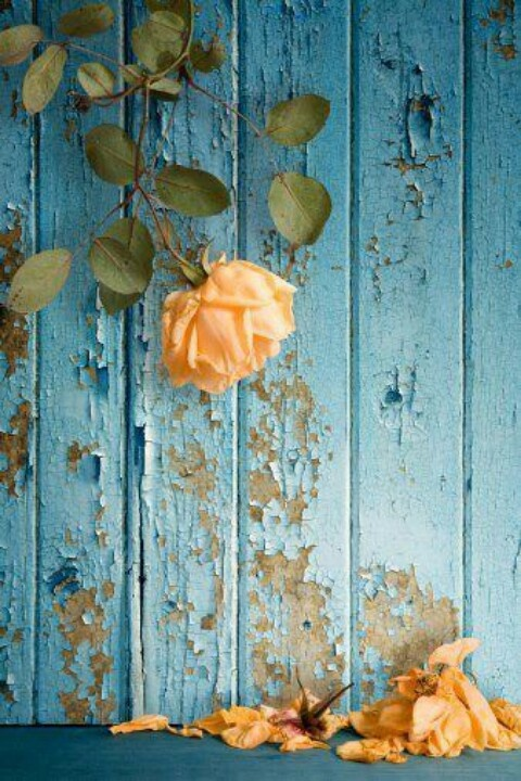 Two of my favorite colors.: Colors Combos, Yellow Rose, Blue Wall, Colors Combinations, Colors Palettes, Colors Schemes, Peaches, Flowers, Rose Petals