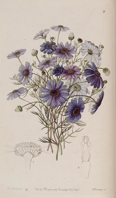 Brachycome iberidifolia Cass. Swan river daisy. Edwards's botanical register. London: James Ridgway,1829-1847
