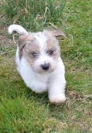 Image result for Sporting Lucas Terrier