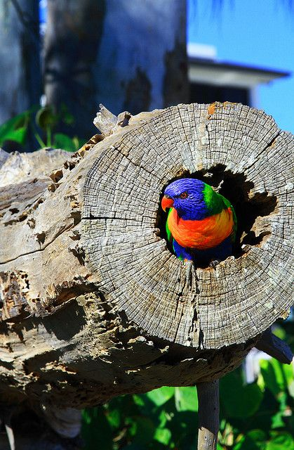 Photo by John Hodgkin - Rainbow Lorikeet - Shelly Beach, Hervey Bay, Queensland, Australia.