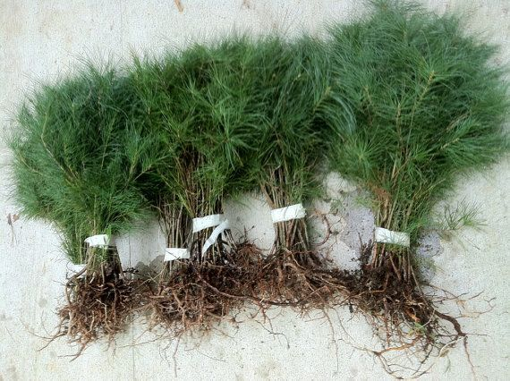 free shipping!! FREE SHIPPING!! free shipping NO CALIFORNIA SHIPPING AVAILABLE EASTERN WHITE PINE TREE STARTER SAPLING SEEDLINGS THIS AUCTION IS FOR A QUANTITY OF 40 SEEDLINGS CAREFULLY WASHED PACKED & SHIPPED SEEDLINGS WILL SIZE BETWEEN 4 TO 9 INCHES TALL WITH EXCELLENT STARTER ROOTS SYSTEM ALL HEALTHY SAPLINGS WITH STARTER ROOTS THIS IS AN EXCELLENT SHADE TREE WHEN MATURED THIS AUCTION IS FOR 40 PINE TREE STARTER SAPLINGS The tree is a conifer and the lineal taxonomy is Pinopsida Pinales…