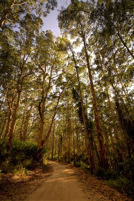 The windy track with a cathedral of trees